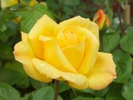 Arthur Bell - Standard Rose - 10 Litre