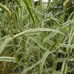 Arundo Donax Variegata 'Giant Variegated Reed' 3 Litre Pot