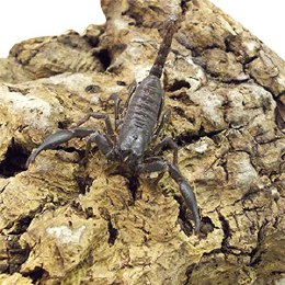 Asian Jungle Scorpion