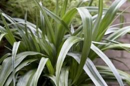 Astelia chathamica 'Silver Spear'