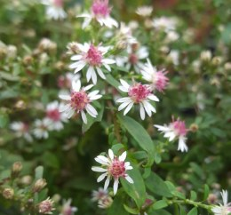 Aster Lateriflorus Prince 2L