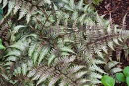 Athyrium niponicum var. pictum | Painted Lady Fern