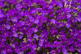 Aubrieta 'Axcent Deep Purple'