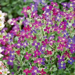 Aubrieta Audrey Red-Purple