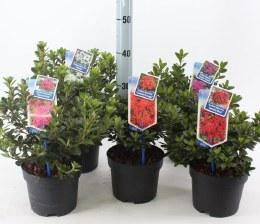 Azalea japonica mix 2L pot