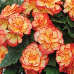 Begonia Aztec Gold Exotic - 3 Pack