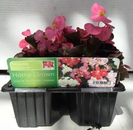 Begonia Dark Leaf Mix Flowers 6 Pack