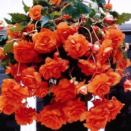 Begonia Pendula Orange Giant - 3 Pack