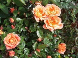 Bridges of Sighs Rose Climbing Rose 4.5L