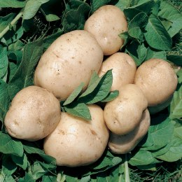 British Queen Seed Potatoes 2kg - Second Early