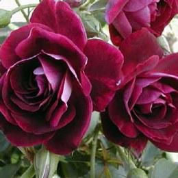 Burgundy Ice Patio Floribunda Rose - 3Ltr