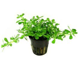 Bacopa Compact Potted