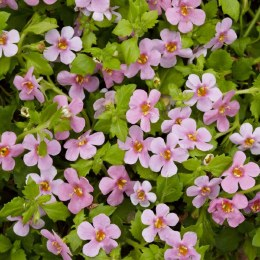 Bacopa Pink 10cm