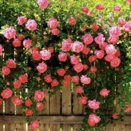 Bantry Bay Climbing Rose - 4.5 Litre