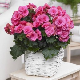 Begonia Double Pink - Loose Bulbs