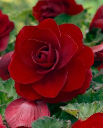 Begonia Double Red - Loose Bulbs