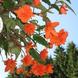 Begonia Pendula Orange Giant- Loose Bulbs
