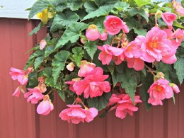 Begonia Pendula Pink Giant - Loose Bulbs