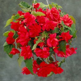 Begonia Pendula Red Giant - Loose Bulbs