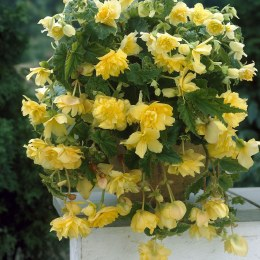 Begonia Pendula Yellow Giant - Loose Bulbs
