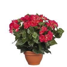 Begonia Pink in Pot Campana Terra