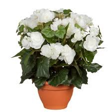 Begonia White in Pot Campana Terra