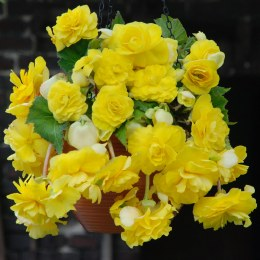 Begonia Pendula Yellow Giant - 3 Pack