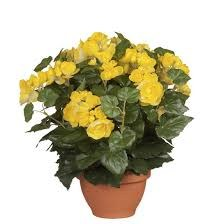 Begonia Yellow in Pot Campana Terra