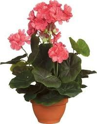 Begonia Salmon in Pot Campana Terra