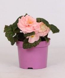 Begonia tuberhybrida pink in 12cm Pot