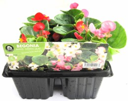 Begonia Green Leaf Mix Flowers 6 Pack