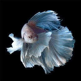 Fighter Fish Super Delta Dragon Male