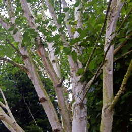Betula Jacquemontii - Silver Birch 200cm Tall 10 Litre