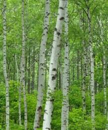 Betula pendula verrucosa - Silver Birch