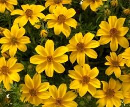 Bidens Yellow Charm 10cm