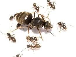 Black Ant Queen & Cocoons