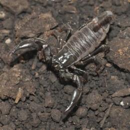 Scorpion Black Forest - Baby