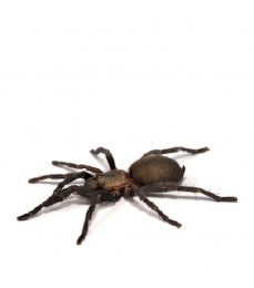 Black Furry Tarantula