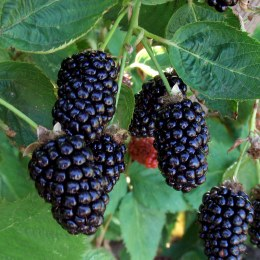 Blackberry 'Oregon | Thornless Blackberry