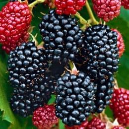 """Blackberry Rubus Fruticosus """"Thornfree"""""""