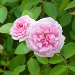 Blairii No 2  Climbing Rose 5 Litre