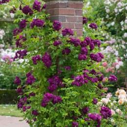 Bleu Magenta Rambling Rose - 5 Litre