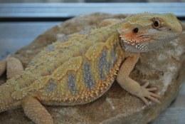Blue Bar Bearded Dragon