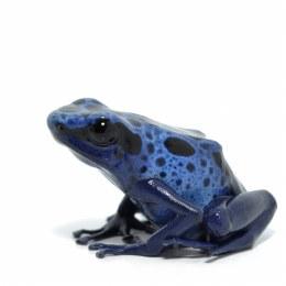 Blue Dart Frog 'Azureus'