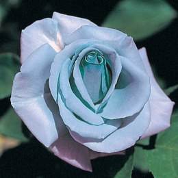 Blue Girl Hybrid Tea Rose 4.5 Litre