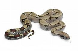 Boa Constrictor Captive Bred