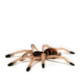 Tarantula Boa Vista Pink Toe