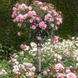 Bonica Standard Tree Rose