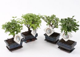 Bonsai 12 cm Ceramic Pot With Saucer  20cm Height