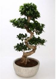 Bonsai Ficus micr. 'Ginseng' 90-100cm in Grey White Ceramic Pot